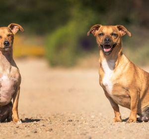 dos perros mirando la cámara