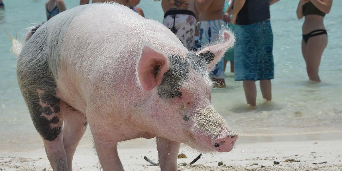 Uno de los cerdos de Exuma (Bahamas)