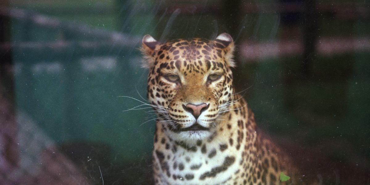 Jaguar criado en cautividad