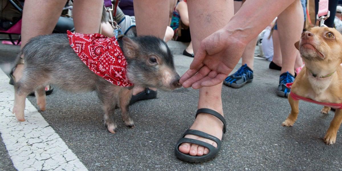 Un cerdo vietnamita y un chihuahua