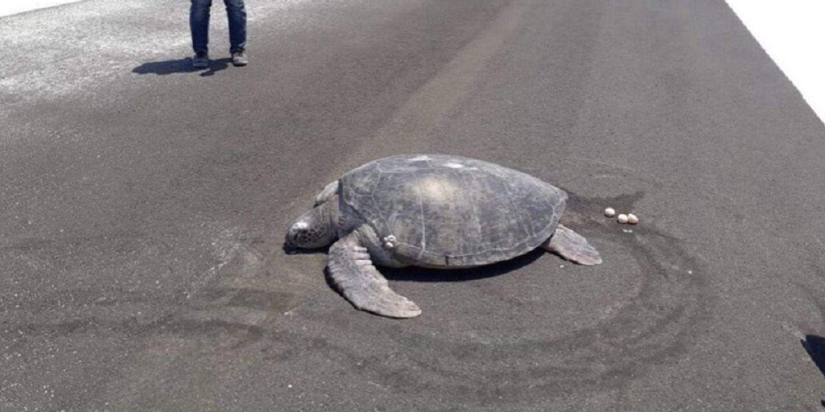 Una tortuga anida en una pista de aterrizaje construida al lado de una playa en las Maldivas