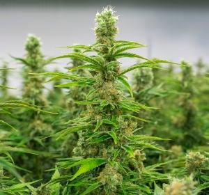 Imagen de archivo de plantaciones de marihuana.