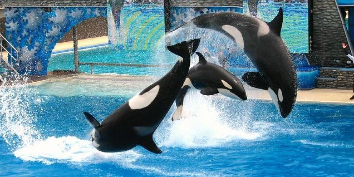 El estres cronico acorta la vida de las orcas en cautividad