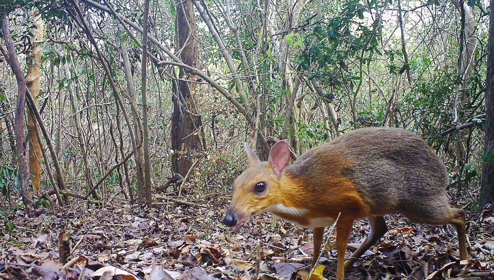 El ciervo raton de Vietnam no se habia extinguido