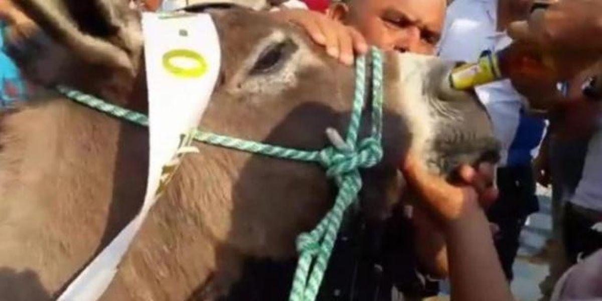 """Una mujer intentando dar de """"beber"""" cerveza a un burro por la nariz"""