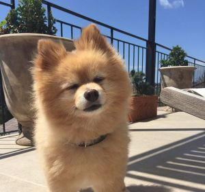 Mashi, el perro de Hermione Olivia que le ha cortado el pelo