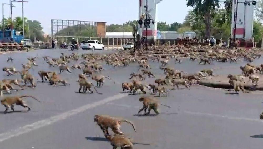 El coronavirus hace que cientos de monos hambrientos siembren el caos en Tailandia