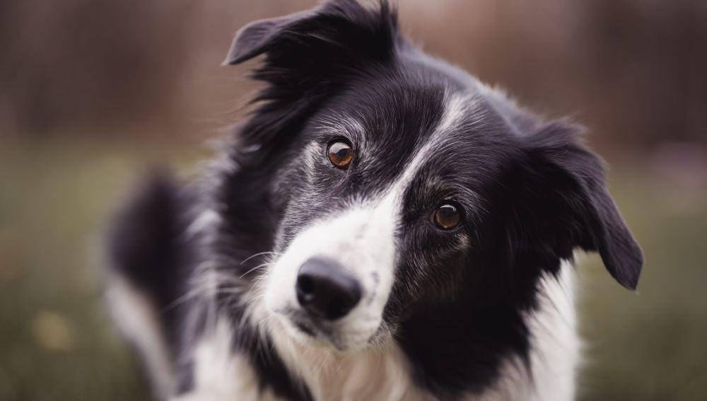 El Border Collie es el perro favorito en España.