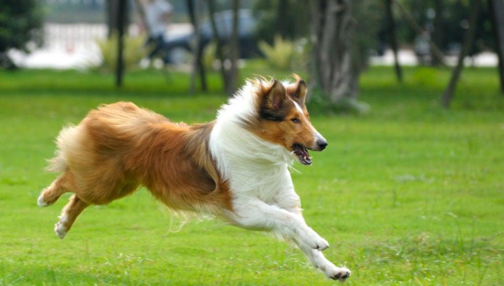 El Rough Collie sería la raza de perro que más agresividad puede desarrollar según el estudio